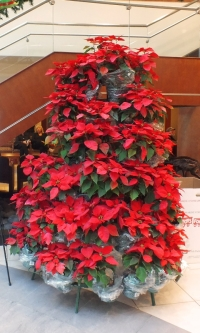 A large display of pointsettias stacked in the shape of a 6 foot christmas tree